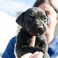 Adopt A Pet :: Samus - Cumming, GA