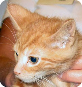 Domestic Shorthair Kitten for adoption in Toledo, Ohio - Dave