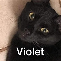 Domestic Shorthair Cat for adoption in Riverview, Florida - Violet