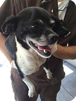 Boston Terrier/Chihuahua Mix Dog for adoption in Westminster, California - Howdy