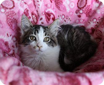 Domestic Mediumhair Kitten for adoption in Newport Beach, California - ELLEN