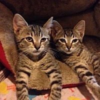 Domestic Mediumhair Cat for adoption in Walnut Creek, California - Nala and Simba