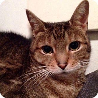 Domestic Shorthair Cat for adoption in Long Beach, New York - Hunter