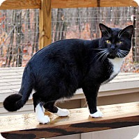 Adopt A Pet :: Phylllo (barn cat) - McCormick, SC