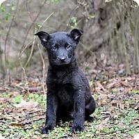 Adopt A Pet :: Amigo - Groton, MA