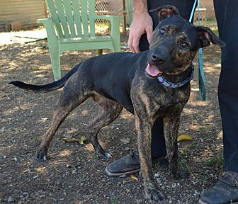 Pit Bull Terrier/Shepherd (Unknown Type) Mix Dog for adoption in Chico, California - Stevie