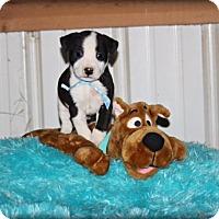 Adopt A Pet :: Liam - Brattleboro, VT