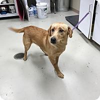 Adopt A Pet :: Tilly - Decatur, AL