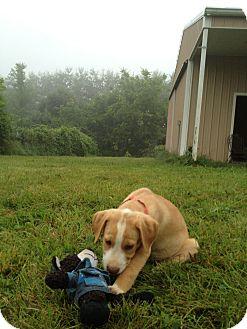 Labrador Retriever Mix Puppy for adoption in Russellville, Kentucky - Friday