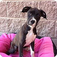 Adopt A Pet :: Mitz - Mesa, AZ