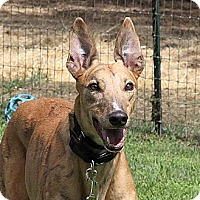 Adopt A Pet :: Barracuda - Santa Rosa, CA