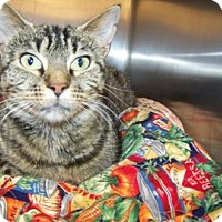 Domestic Shorthair Cat for adoption in Westville, Indiana - Tootie