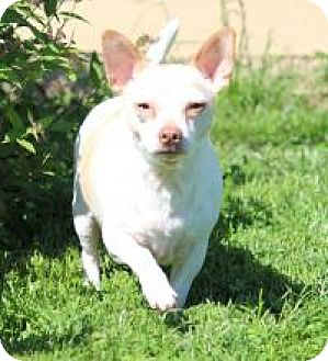 Chihuahua Dog for adoption in Mount Gretna, Pennsylvania - Saulie