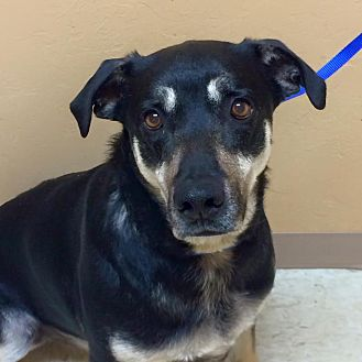 German Shepherd Dog/Labrador Retriever Mix Dog for adoption in Woodward, Oklahoma - Royal - $25