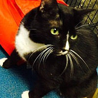 Domestic Shorthair Cat for adoption in Chattanooga, Tennessee - Rose