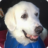 Great Pyrenees Mix Dog for adoption in Kyle, Texas - Pearl