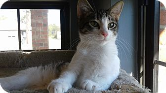 Domestic Shorthair Cat for adoption in Lake Charles, Louisiana - Lenny