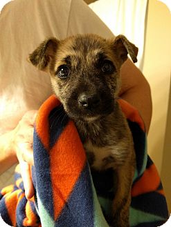 Beagle/Pug Mix Puppy for adoption in Fishkill, New York - TALIE