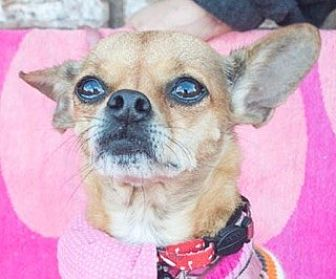 Chihuahua/Pug Mix Dog for adoption in San Marcos, California - Goldie