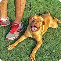 Adopt A Pet :: Lola - Gilbert, AZ