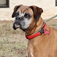 Adopt A Pet :: Cinnamon - Enfield, CT