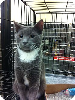 Domestic Shorthair Kitten for adoption in Pittstown, New Jersey - Cisco