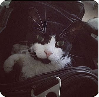 Domestic Shorthair Cat for adoption in Los Angeles, California - Cupcake