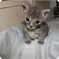 Adopt A Pet :: Baby Gray - Miami, FL