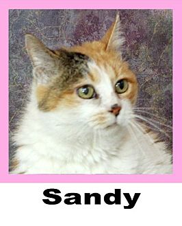 Calico Cat for adoption in Wichita Falls, Texas - Sandy