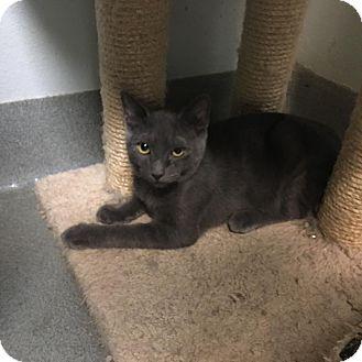 Domestic Shorthair Kitten for adoption in Westminster, California - Iris