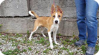 Basenji/Labrador Retriever Mix Puppy for adoption in Frankfort, Illinois - Olaf