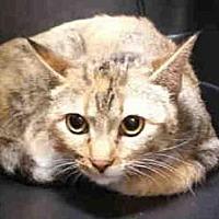 Domestic Mediumhair Cat for adoption in Rogers, Arkansas - HERA