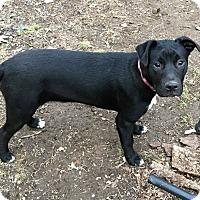 Adopt A Pet :: Lace - Staunton, VA