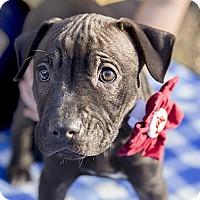 Adopt A Pet :: Baby Myra - Durham, NC