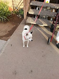 Rat Terrier/Chihuahua Mix Dog for adoption in Mesa, Arizona - Mariah