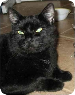 Domestic Shorthair Cat for adoption in Plainville, Massachusetts - Midnight