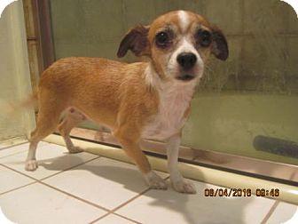 Chihuahua Mix Dog for adoption in La Mesa, California - SUZIE