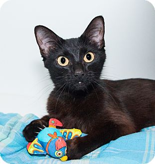 Domestic Shorthair Cat for adoption in Seville, Ohio - Opal