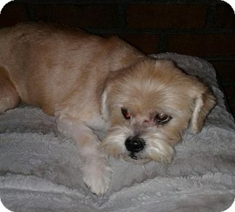 Lhasa Apso/Terrier (Unknown Type, Small) Mix Dog for adoption in Olive Branch, Mississippi - Dixie