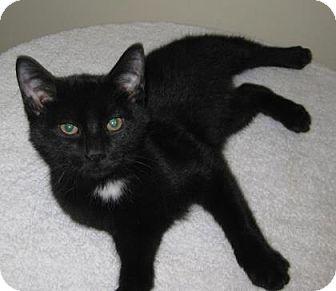 Domestic Shorthair Kitten for adoption in Gary, Indiana - Frisky