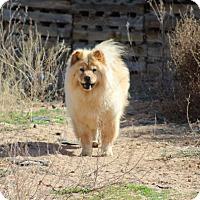 Chow Chow Dog for adoption in Eastsound, Washington - PALOMA