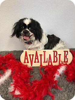 Pekingese Mix Dog for adoption in Seattle, Washington - Capone