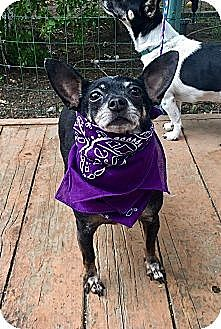 Chihuahua/Rat Terrier Mix Dog for adoption in Santa Ana, California - Mindy