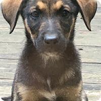 Adopt A Pet :: Sahara - Haggerstown, MD