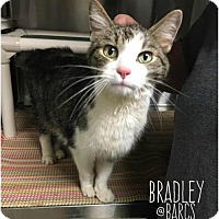 Adopt A Pet :: Bradley - Baltimore, MD