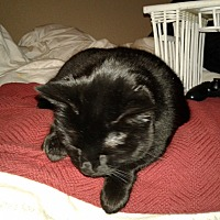 Domestic Shorthair Cat for adoption in North Highlands, California - Sasha