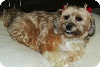 Shih Tzu/Pekingese Mix Dog for adoption in El Cajon, California - SUSSY