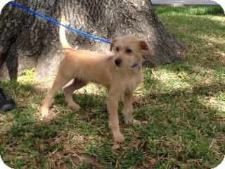Schnauzer (Standard) Mix Dog for adoption in Houston, Texas - James
