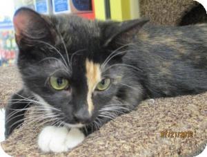 Calico Kitten for adoption in Modesto, California - Fannie