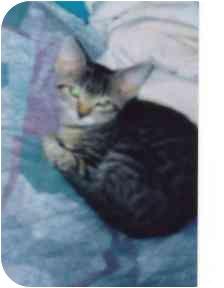 Domestic Shorthair Kitten for adoption in Fayette, Missouri - Violet